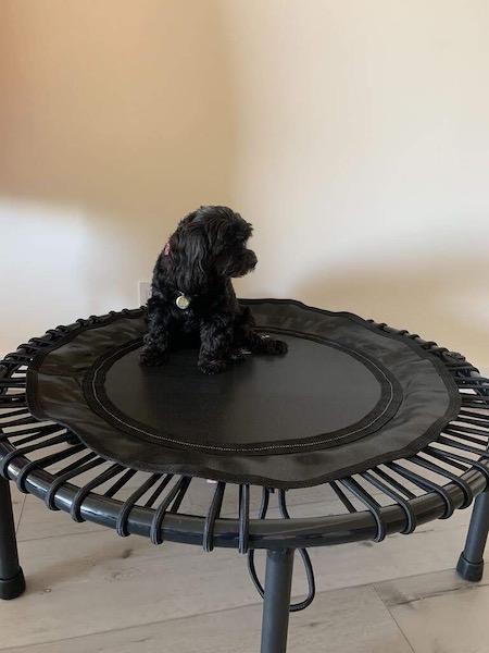 Natalie's Dog Bella Sitting on Workout Trampoline